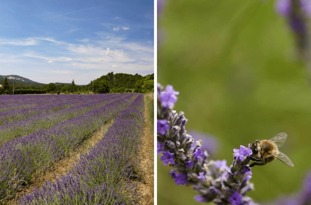 Lavender fields of the Luberon. Finding lavender in Provence, France.