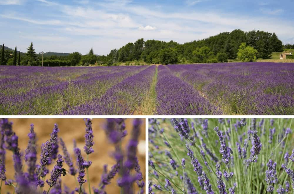 Where to find lavender in Provence. Exploring the lavender fields around Rustrel in the Luberon.