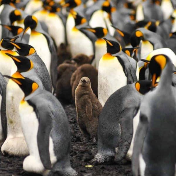 Falkland Islands Penguins. King penguins in the Falkland islands. Volunteer Point.