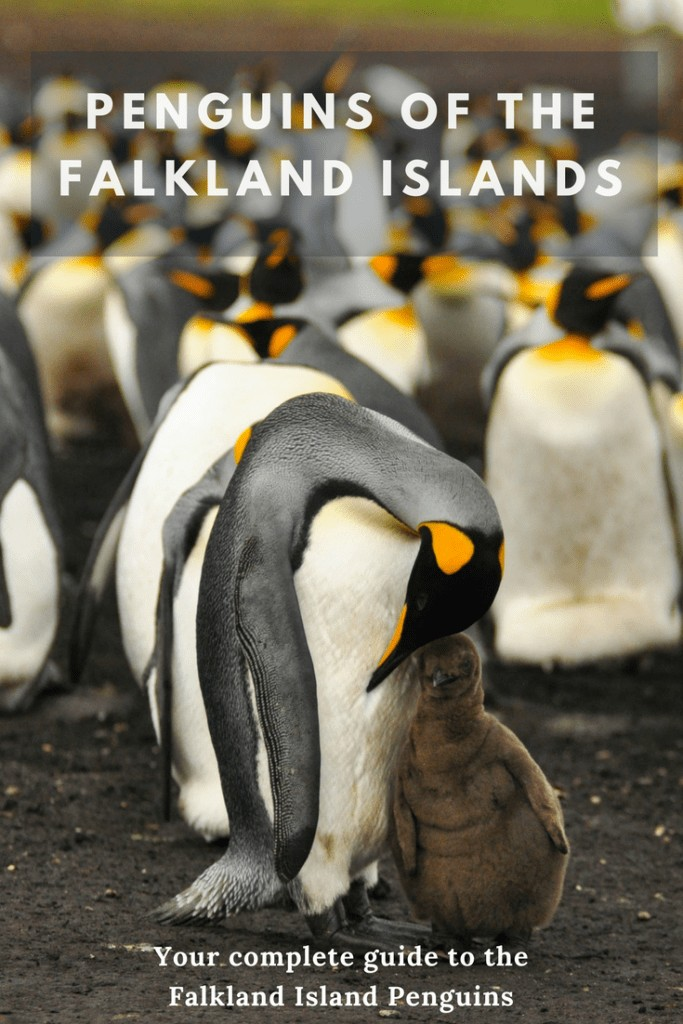 The Falkland Island Penguins are remarkable and plentiful. Find out everything you need to know about Falkland Island penguins, here.