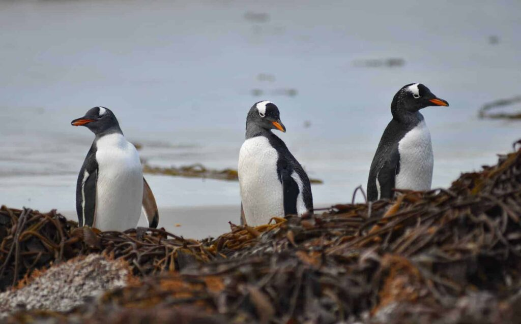 Gentoo penguins in the Falkland Islands. Best place to see the Falkland Islands penguins