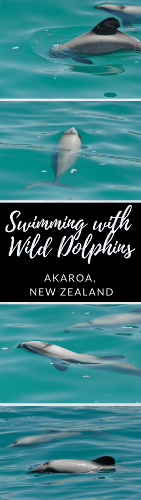 Swimming with wild dolphins in New Zealand is an incredible experience that should not be missed. Learn the best place to swim with dolphins in New Zealand.