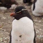 Rockhopper penguins in the Falkland Islands. Falkland Islands Penguins