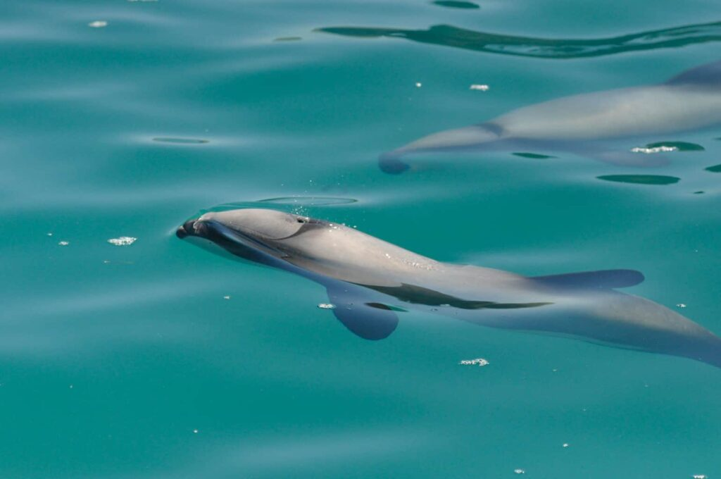 Best place to swim with dolphins in New Zealand. Akaroa Dolphin Cruise.