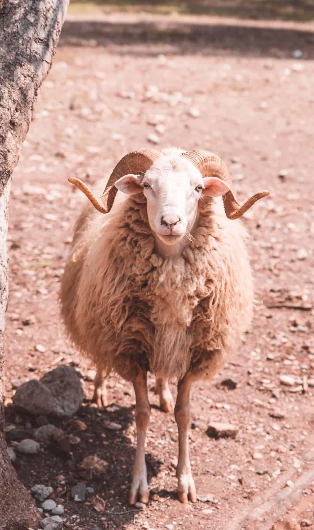 Sheep at Tuent Beach, Mallorca