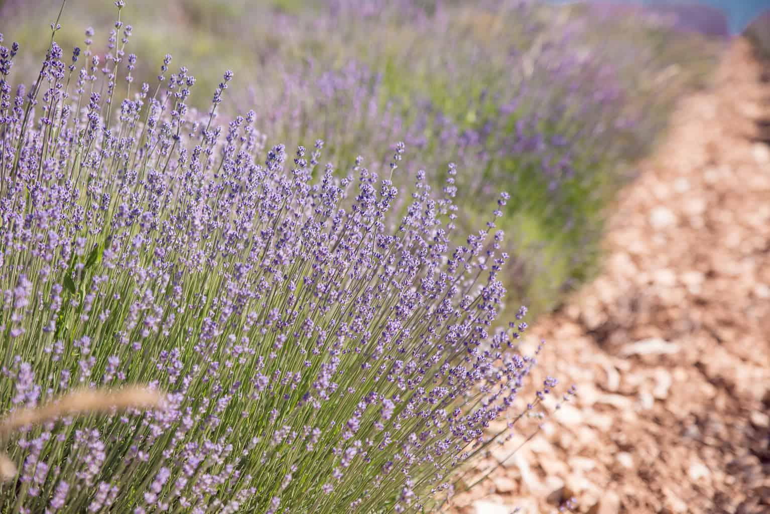 Fine lavender of Provence