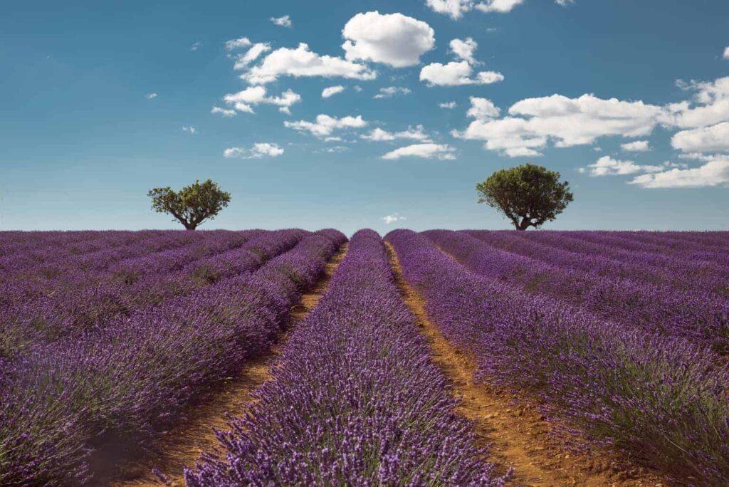 Valensole lavender fields.