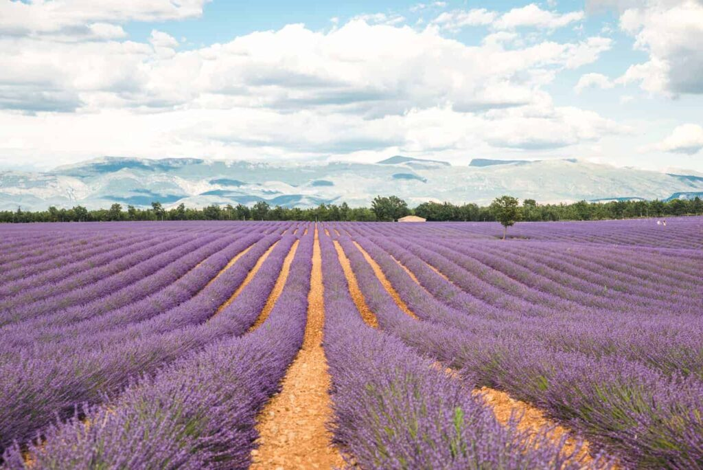 Lavender fields of Valensole, Provence, France