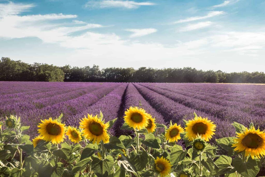Sunflower and lavender fields in Provence, France