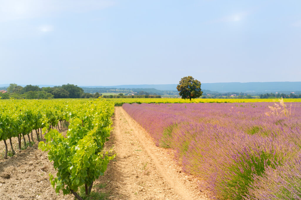Vineyards near Manosque in Provence, France