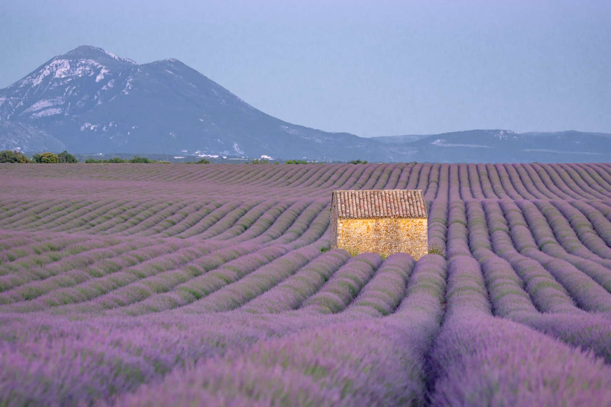 Lavender fields on the Plateau de Valensole in Provence, France