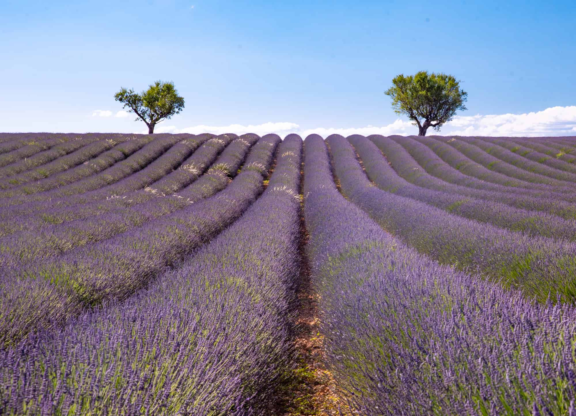 Valensole lavender fields in Provence, France