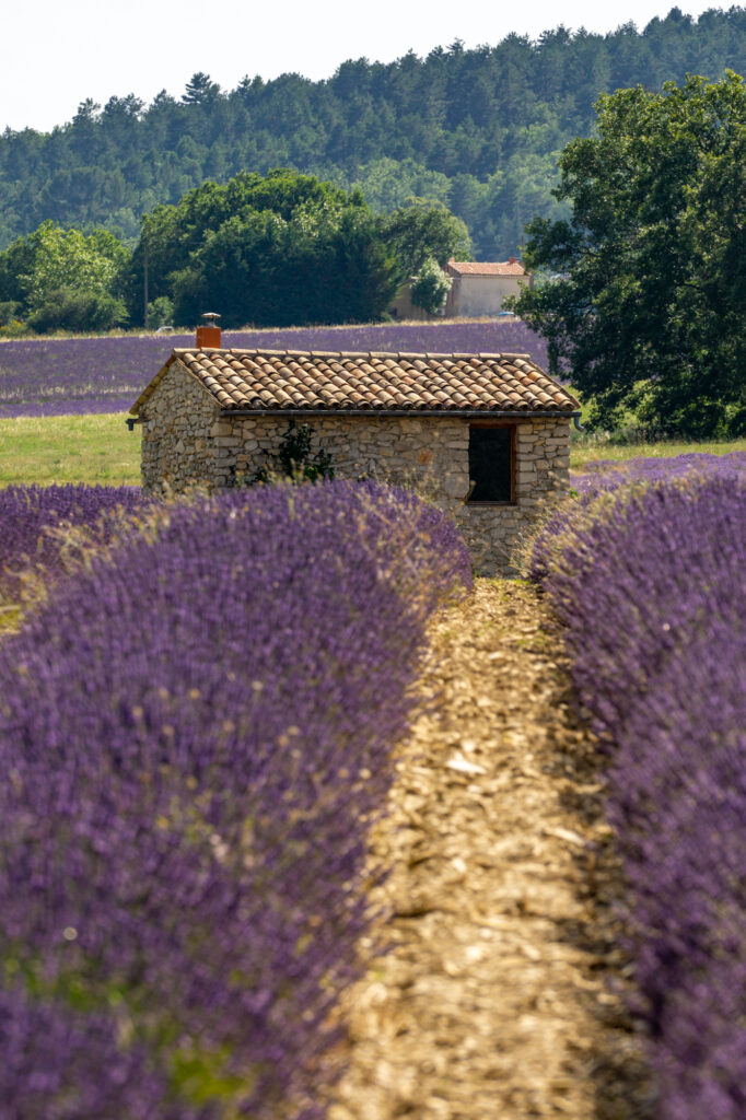 Sault lavender field in Provence, France
