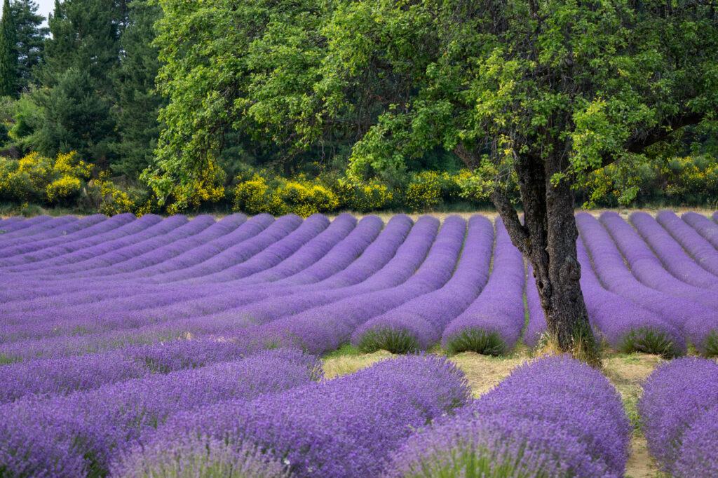 Lavender field near Aurel in Provence, France