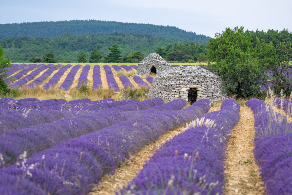 Lavender field with bories near Ferrassières in Provence, France