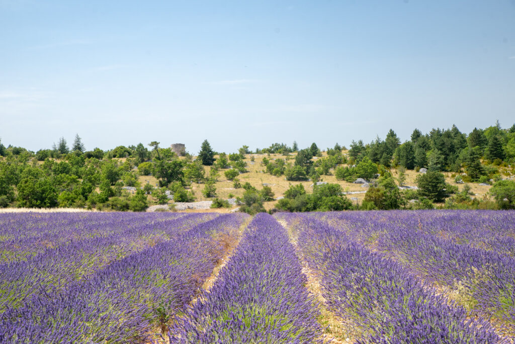 Sault lavender fields in Provence, France