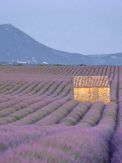 Best lavender fields in Provence, France